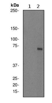 Western blot - KIF22 (phospho S427) antibody [EPR2728Y] (ab76182)