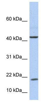 Western blot - IL9 antibody (ab76229)