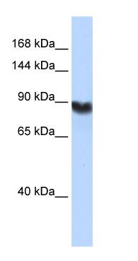 Western blot - DNA Ligase I antibody (ab76232)