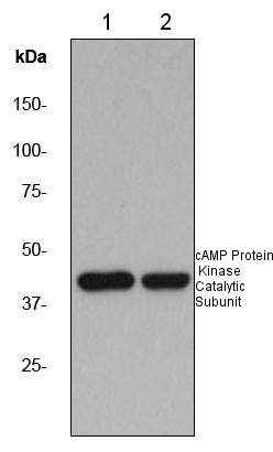 Western blot - cAMP Protein Kinase Catalytic subunit antibody [EP2102Y] (ab76238)