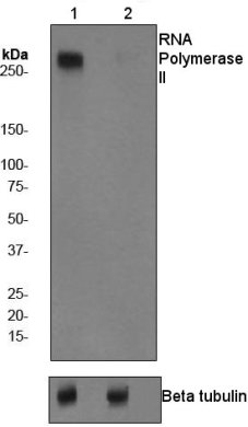 Western blot - RNA polymerase II (phospho S1801) antibody [EP1510Y] (ab76292)
