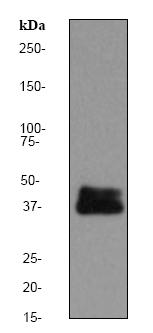 Western blot - DUSP6 antibody [EPR129Y] (ab76310)