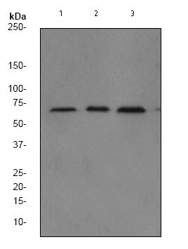 Western blot - Anti-NF-kB p65 [EP2161Y] antibody (ab76311)