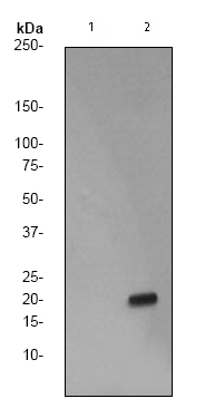 Western blot - Anti-Histone H3 (phospho S28) antibody [EP1874Y] (ab76312)