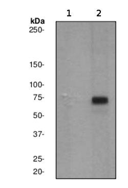Western blot - STAT3 (phospho Y705) antibody [EP2147Y] (ab76315)