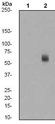 Western blot - MST1/MST2 (phospho T183 + T180) antibody [EPR1467Y] (ab76323)