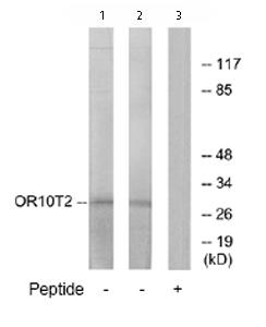 Western blot - OR10T2 antibody (ab76406)