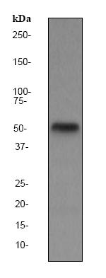 Western blot - TAB1 antibody [EPR635Y] (ab76412)