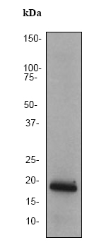 Western blot - PRA1 antibody [EPR1747Y] - Carboxyterminal end (ab76413)