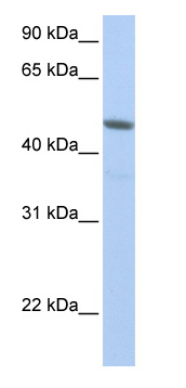 Western blot - NXF3 antibody (ab76430)