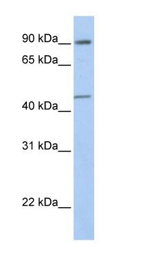 Western blot - GTF2H4 antibody (ab76432)