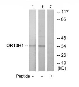 Western blot - OR13H1 antibody (ab76454)