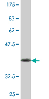 Western blot - PI 3 Kinase p55 gamma antibody (ab76460)