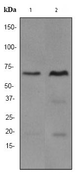 Western blot - SAM68 antibody [EPR3231] (ab76471)