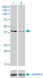 Western blot - Creatine kinase MT antibody (ab76506)