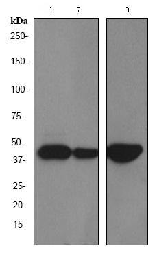 Western blot - Cytokeratin 19 antibody [EPR1579Y] (ab76539)