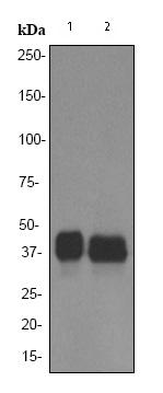 Western blot - PU.1/Spi1 antibody [EPR3158Y] (ab76543)