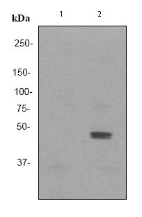 Western blot - JNK1+JNK2+JNK3 (phospho Y185 + Y185 + Y223) antibody [EP1597Y] (ab76572)