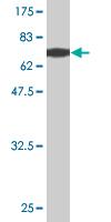Western blot - EIF5 antibody (ab76633)