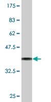Western blot - TCEA1 antibody (ab76637)