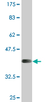Western blot - APOL6 antibody (ab76703)