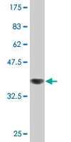 Western blot - ZPLD1 antibody (ab76704)