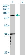 Western blot - RNF6 antibody (ab76773)