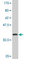Western blot - C9orf103 antibody (ab76807)