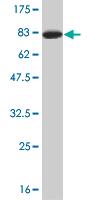Western blot - TSC22 domain family, member 4  antibody (ab76915)