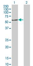 Western blot - FASTK antibody (ab76932)