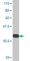 Western blot - SFPQ antibody (ab76955)