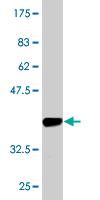 Western blot - AVEN antibody (ab77014)