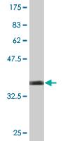 Western blot - BCL2L10 antibody (ab77015)