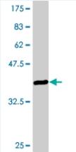 Western blot - VGLL1 antibody (ab77019)