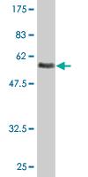 Western blot - Asialoglycoprotein Receptor 2 antibody [N/A] (ab77032)