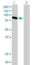 Western blot - SIRP alpha antibody (ab77061)