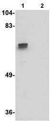 Western blot - ZNF350 antibody (ab77085)