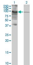 Western blot - PIWIL3 antibody (ab77088)