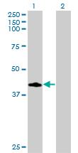Western blot - CCNDBP1 antibody (ab77113)