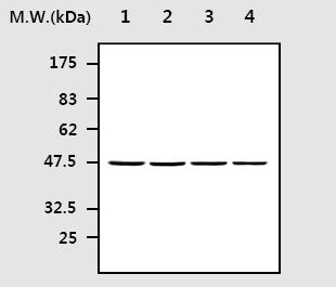 Western blot - Nck antibody [11D10] (ab77124)