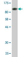 Western blot - SF3B2 antibody (ab77154)