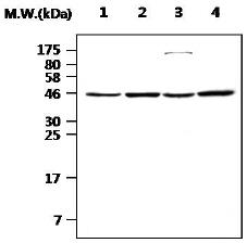 Western blot - Nck 1/2 antibody (ab77165)