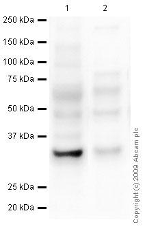 Western blot - TICAM2 antibody [mAbcam77169] (ab77169)