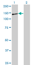 Western blot - Entactin antibody (ab77179)