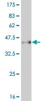 Western blot - PAX7 antibody (ab77180)