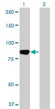 Western blot - Mark3 antibody (ab77199)