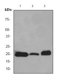 Western blot - Myoglobin antibody [EP3081Y] (ab77232)