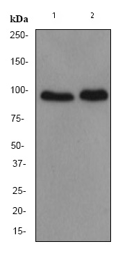 Western blot - DACH1 antibody [EPR2841Y] (ab77234)
