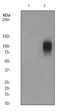 Western blot - Band 3 (phospho Y359) antibody [EPR1427Y] (ab77236)