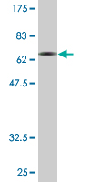 Western blot - Synaptotagmin 1 antibody (ab77314)